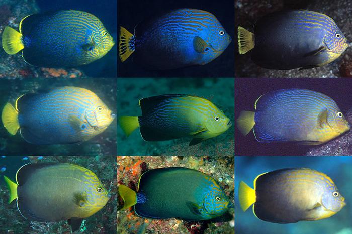 C. septentrionalis X cf melanosoma, in all its many forms. Credit: Nobukaza Koriya, Hiroshi Ueno, Tsutomu Asano, izuzaki, itadc.