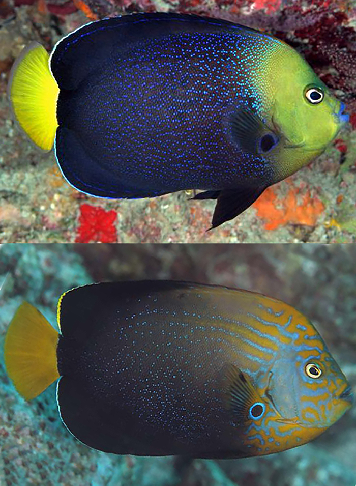 "C. caeruleopunctatus (above) & ""chrysocephalus"", strikingly similar. Photos by brucelee & kiss2sea."
