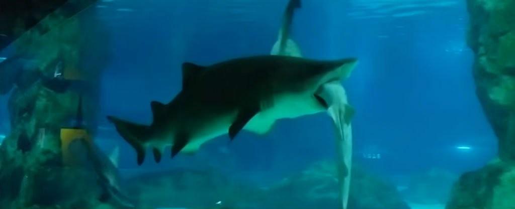shark-sharks_1024
