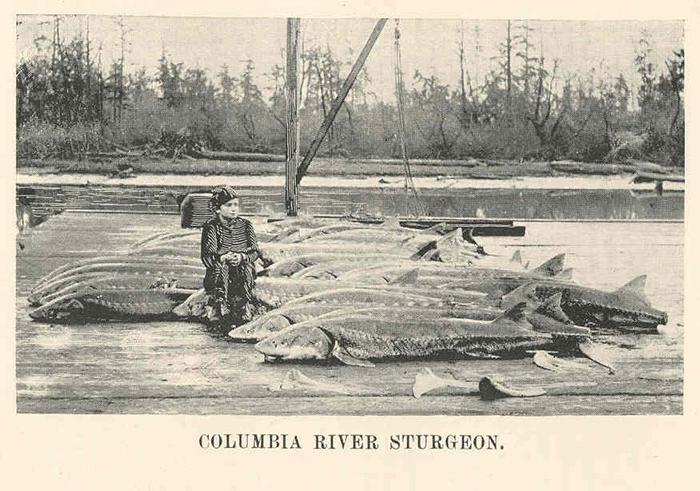 Colombia River Sturgeon, 1898. Photo by Freshwater and Marine Image Bank, University of Washington (Wikimedia Commons).