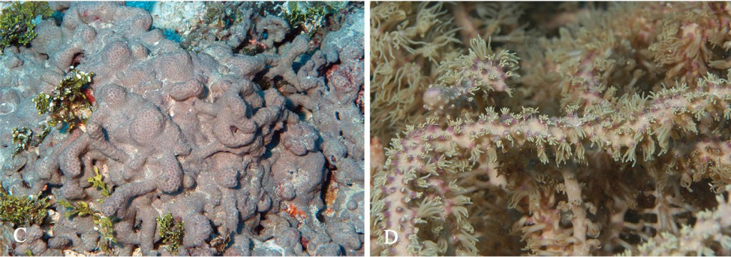 The smooth, pale surface and contorted shape of this P. stechei colony is similar to many aquarium specimens. Credit: Samini-Lamin & van Ofwegen, 2016