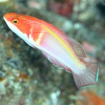 A Mysterious New Fairy Wrasse From Ogasawara