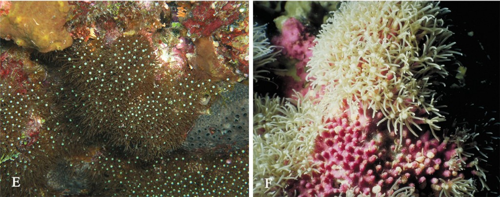 B. violaceum, note the bumpy, purple surface and the contrasting white center to each polyp. It's uncertain if either of these traits are diagnostic for just this species. Credit: Samini-Lamin & van Ofwegen, 2016