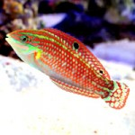 Red & Green Halichoeres Wrasses – A Photographic Guide