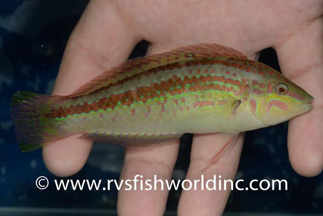 Halichoeres nigrescens. Credit: RVS Fishworld Inc