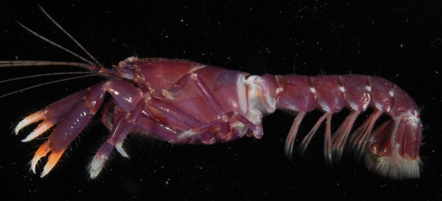 Axiopsis serratifrons. Note the difference in claw shape with respect to Alpheus pistol shrimps. Credit: Moorea Biocode