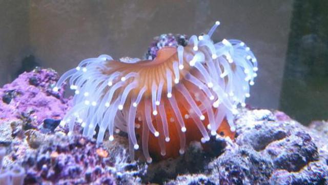 aquarium peong
