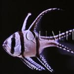 Banggai Cardinalfish and The Endangered Species Act