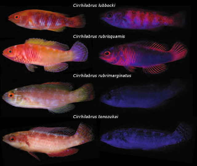 Fluorescent patterns in the short-finned (lubbocki & rubrisquamis) and long-finned (rubrimarginatus & tonozukai) clades. Credit: modified from Gerlech et al 2016