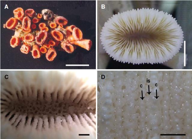 cladopsammia-eguchii.jpg