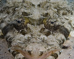 crocodile-fish - reefs