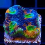 Featured Coral: Joe's Tye Dye Acan