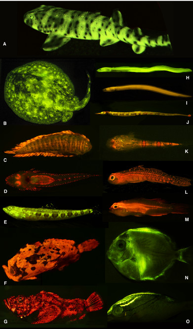 Various fluorescent fishes. Credit: Sparks et al 2014