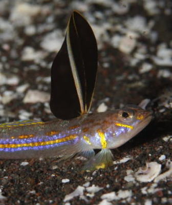 formosensis osezaki 6m 海たぬき