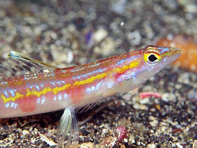P. altivelis, Sagami Bay, Japan. Credit: maximie