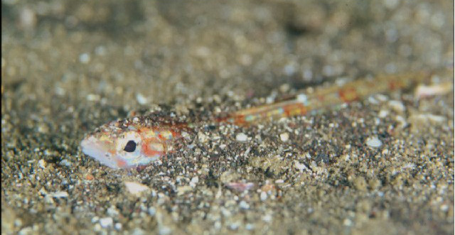 Pseudotrichonotus is reported to be timid when approached underwater. Credit: Satoshi Ueshima