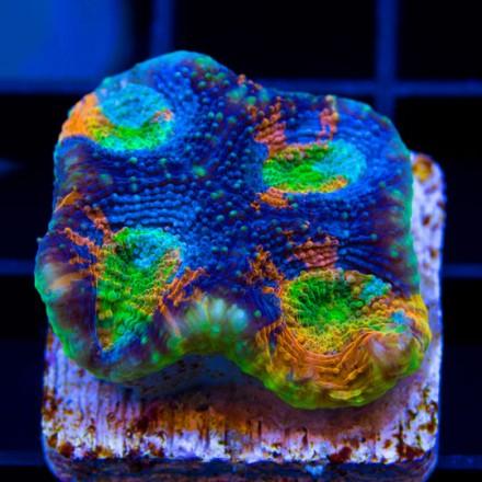 joes tie dye acan - reefs