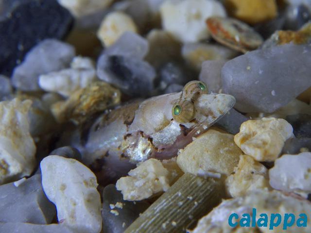 limnichthys calappa