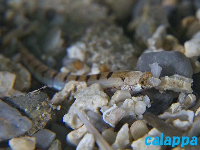 limnichthys calappa2