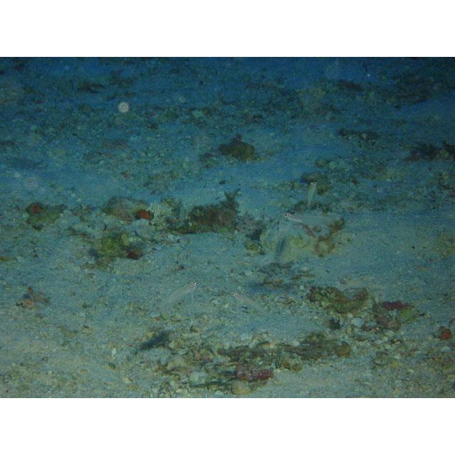 longipinnis tinian marina 60m Junichi Otake