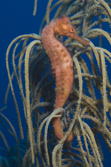 Longsnout seahorse wrapped around gorgonian. Hippocampus reidi. Commonly known as slender seahorse. Curacao, Netherlands Antilles. Unaltered/Uncontrolled. Digital Photo (vertical). Model Release: Not Applicable.