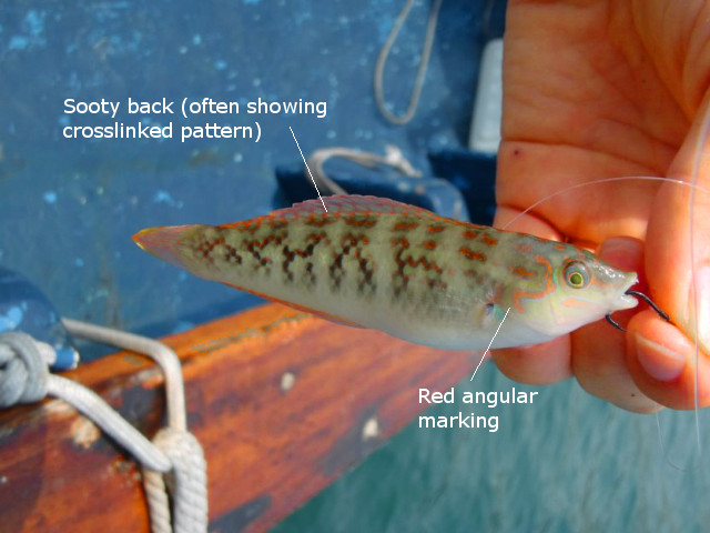 These are said to be the most abundant wrasse in weedy coastal habitats of Hong Kong. Credit: 釣り太郎