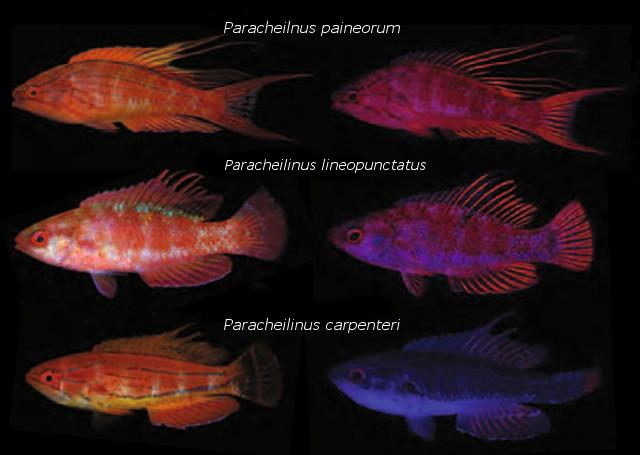 Fluorescent patterns in Paracheilinus. Credit: modified from Gerlech et al 2016