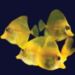 Aquacultured Yellow Tangs have hit Wholesalers