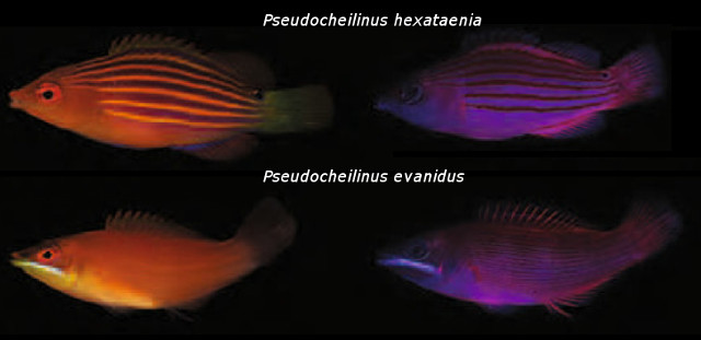 Fluorescent patterns in Pseudocheilinus. Credit: modified from Gerlech et al 2016