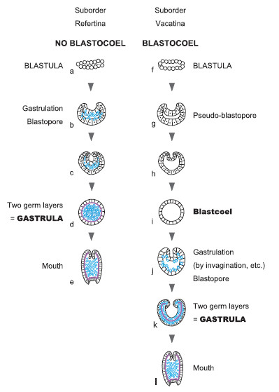 refertina embryo