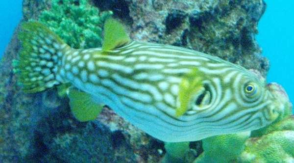 reticularis aquarium msfishlover