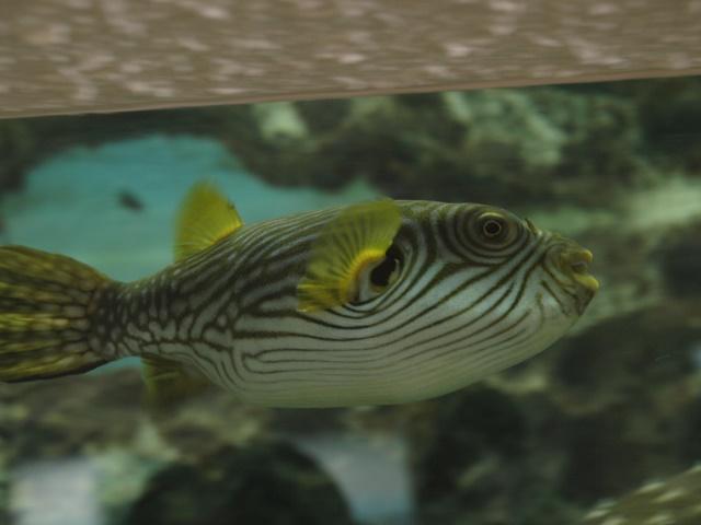 reticularis aquarium unknown