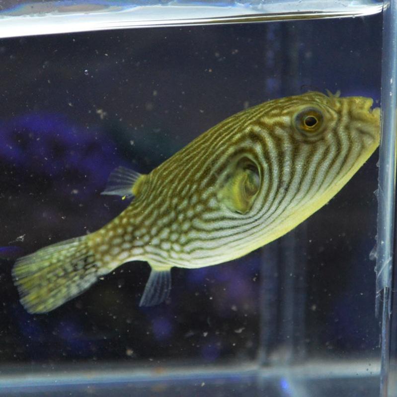 reticularis aquarium yadokoriya
