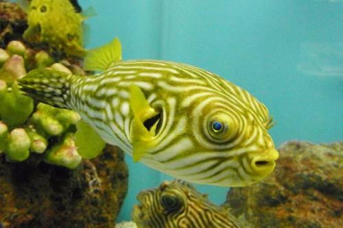 reticularis aquarium