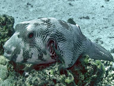 reticulatus-red-sea