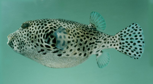 Arothron stellatus has dark spots on a light body. How might this pattern interplay with that of A. hispidus? Credit: John Randall