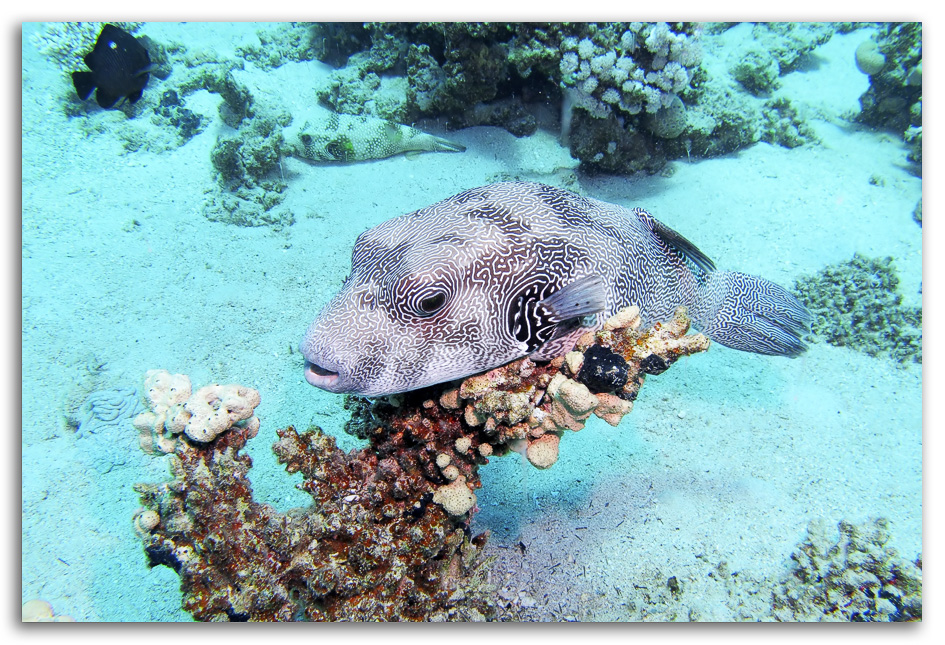 striped southern red sea David Whistlecraft