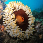 An Identification Guide to Corallimorphs in the Reef Aquarium