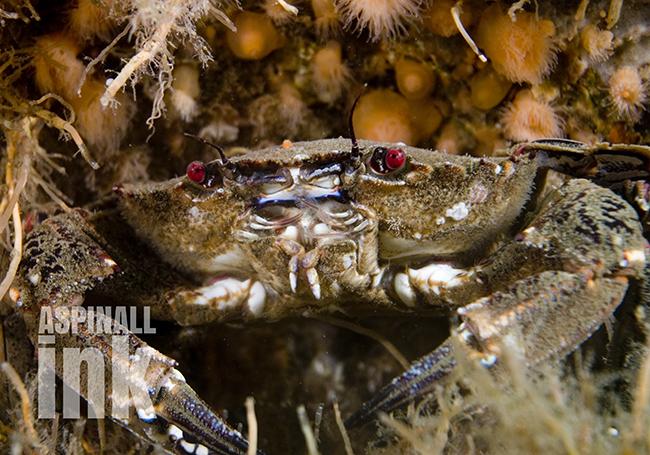 velvet-swimmer-crab2-2