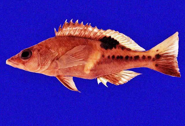 S. stilbostigma specimen found in the Galapagos by John McCosker in 1995. Credit: John McCosker