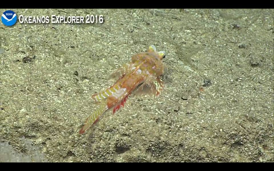 An incredible new callionymid, possibly in the genus Foetorepus. Screen capture from the NOAA Okeanos Explorer live broadcast.