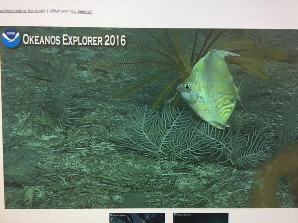 A stunning yellow Antigonia! Screen capture from the NOAA Okeanos Explorer live broadcast.