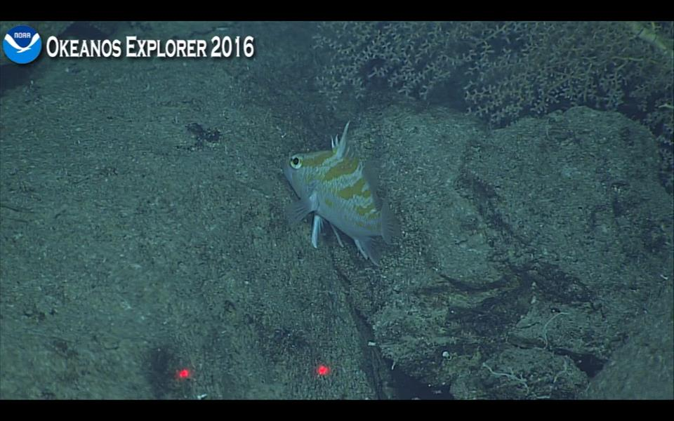A new species of Plectranthias, filmed at 350m. Screen capture from the NOAA Okeanos Explorer live broadcast.