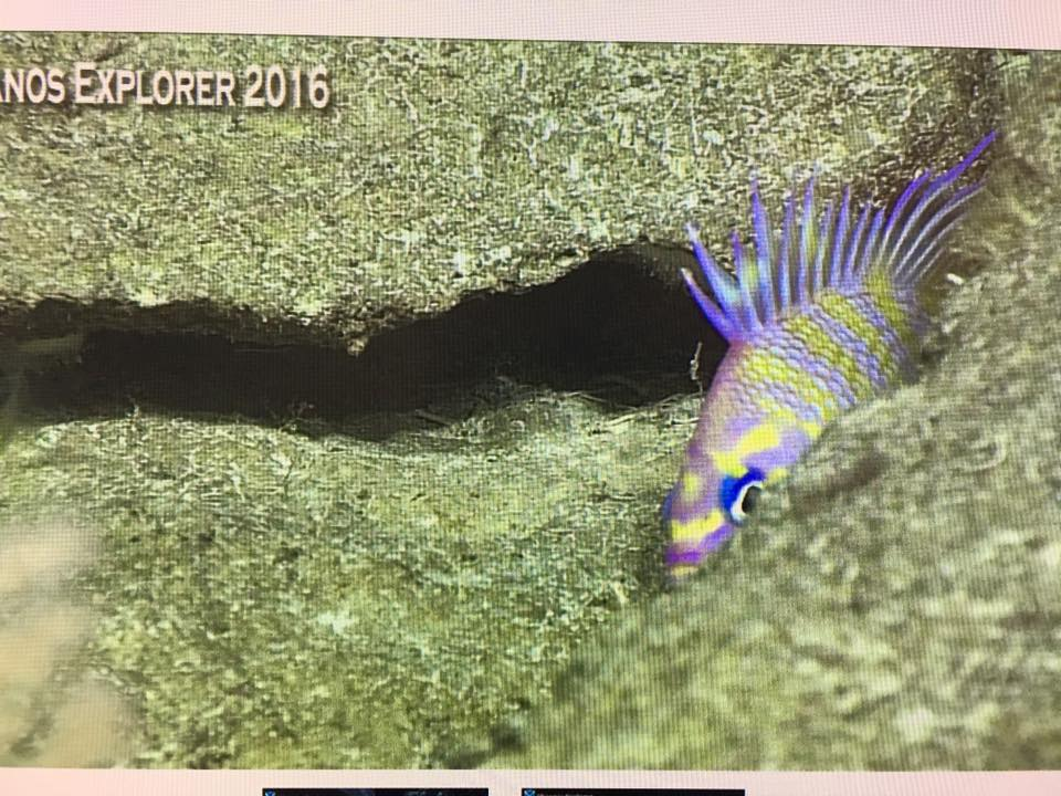 An incredible, never been seen before undescribed species of Odontanthias. Screen capture from the NOAA Okeanos Explorer live broadcast.