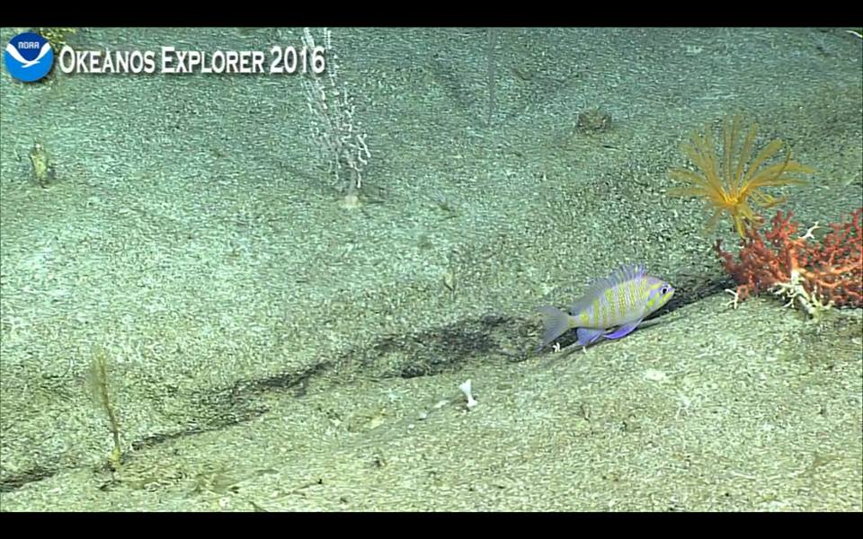 A new species of Odontanthias sporting incredible stripes, filmed at 350m. Screen capture from the NOAA Okeanos Explorer live broadcast.