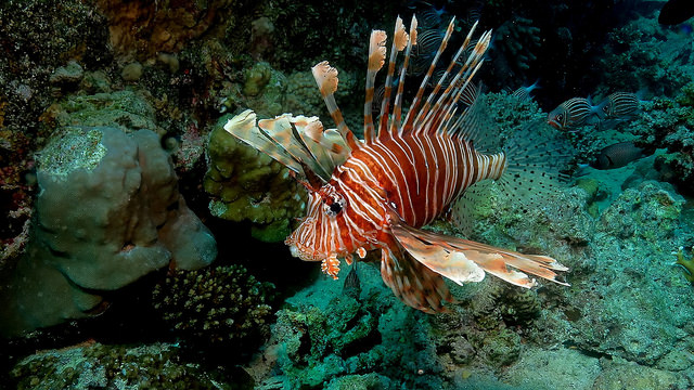 Pterois miles seen in the Red Sea. Credit: Antje Schultner