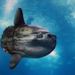 Adult Mola. Credit: LA STaRS