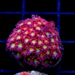 Featured Coral: Joe's Passionfruit Goni