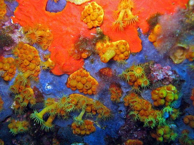 P. axinellae seen in situ at Cote d'Azur, France in close association with some sponges. Credit: Christophe Quintin