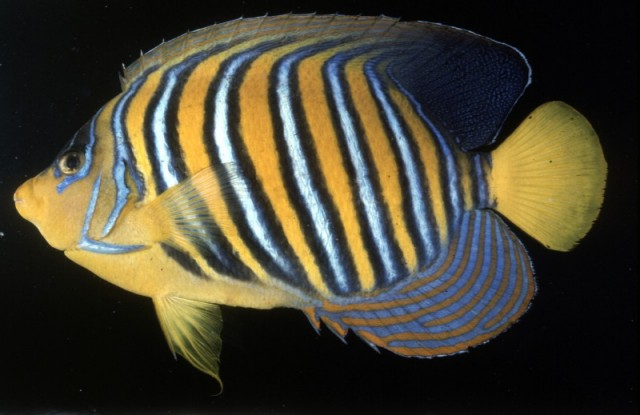 A Regal Angelfish from the Red Sea, note the yellow belly. Credit: John Randall